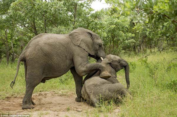 Elefantes bêbados (1)