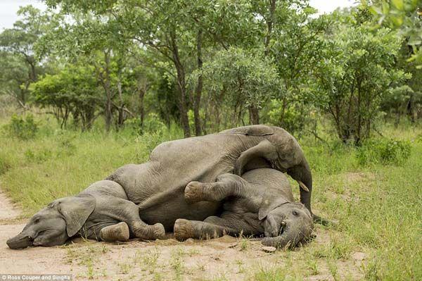 Elefantes bêbados (2)