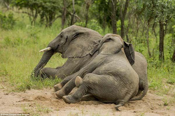 Elefantes bêbados (3)