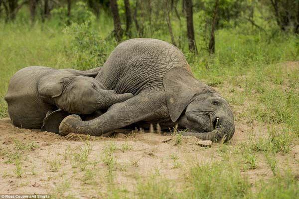 Elefantes bêbados (4)