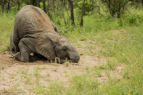 Elefantes bêbados (5)