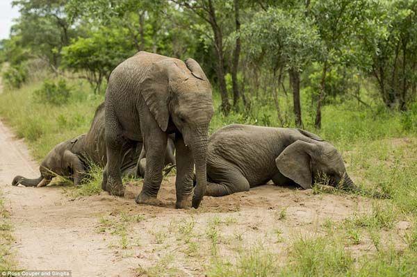 Elefantes bêbados (6)