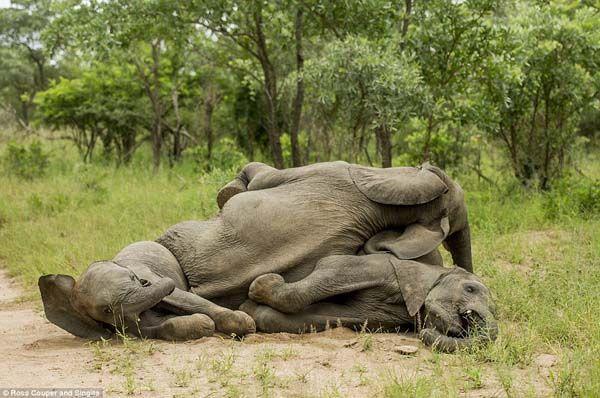 Elefantes bêbados (7)