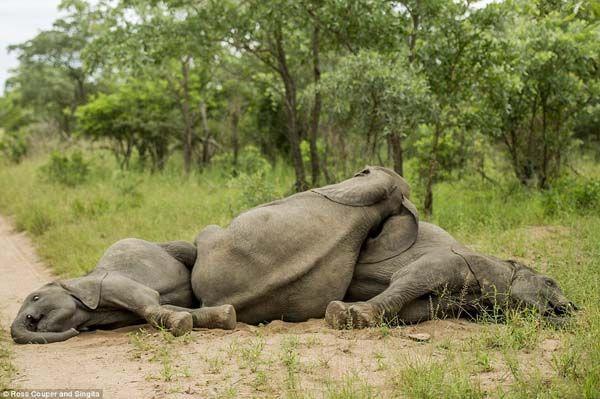 Elefantes bêbados (8)