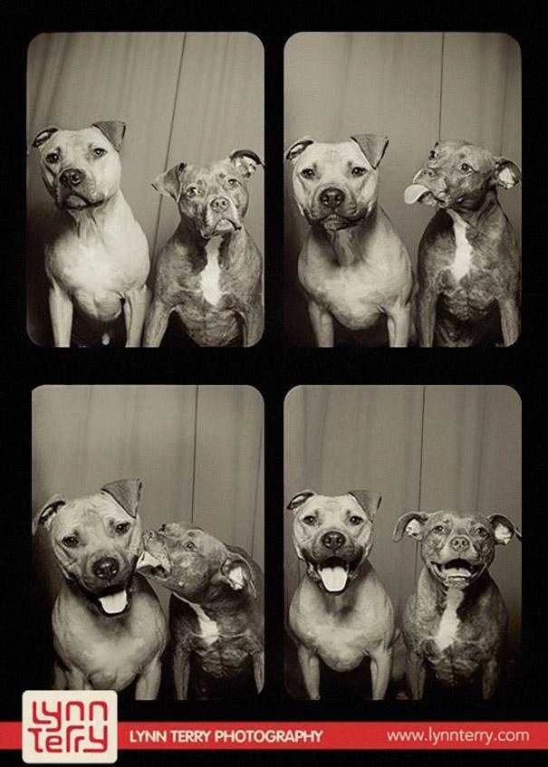 Pit bulls (1)