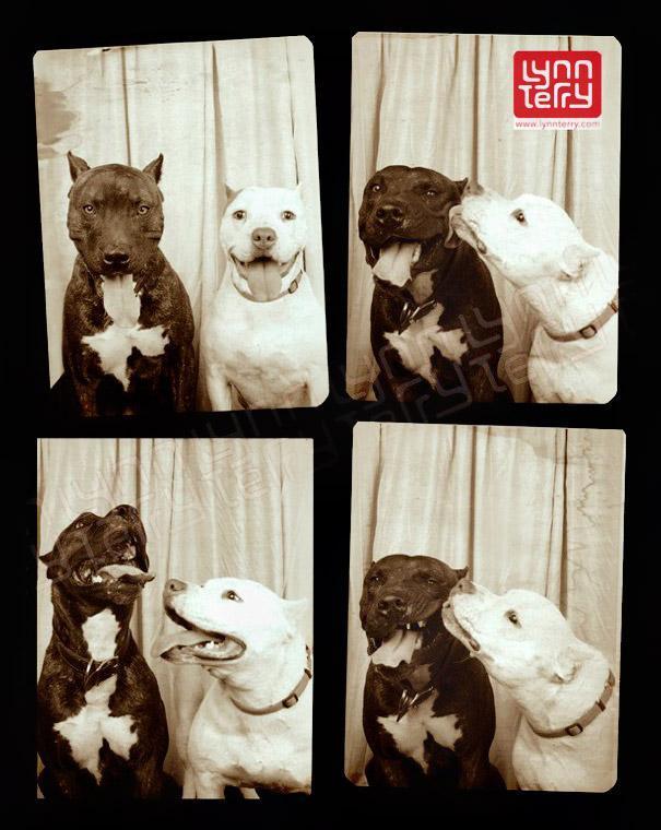 Pit bulls (2)