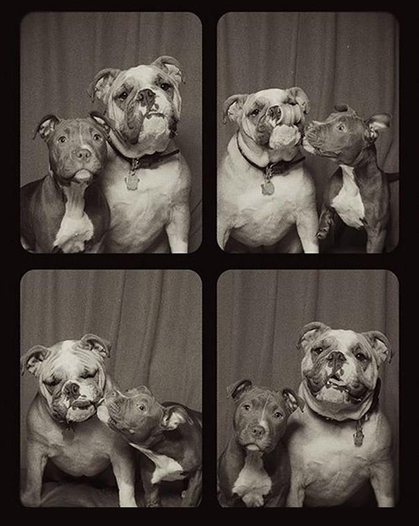 Pit bulls (6)