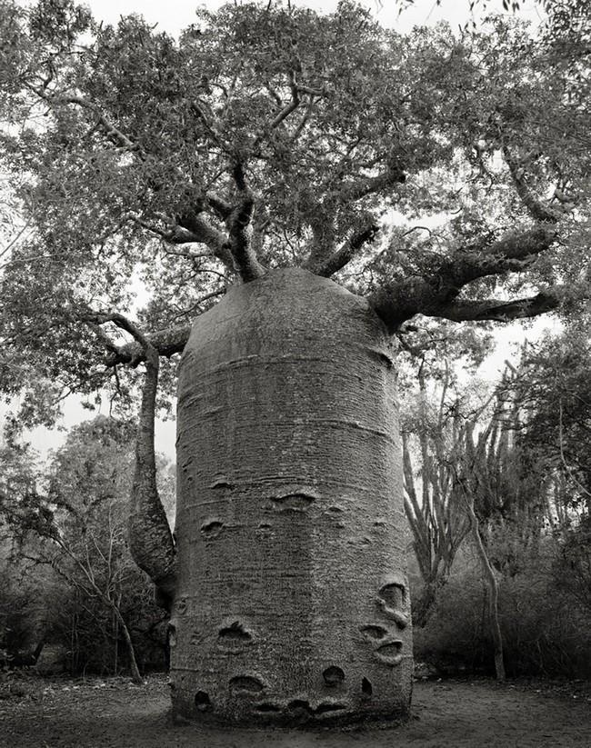 Árvores Ancestrais (11)