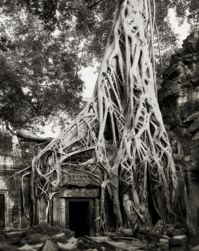 Árvores Ancestrais (13)