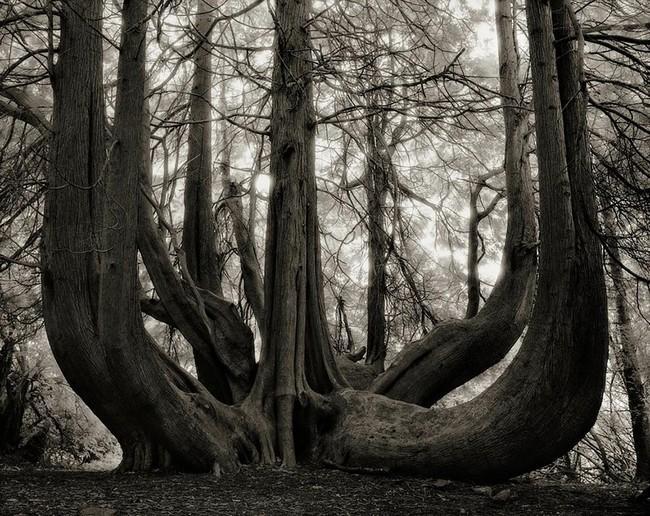 Árvores Ancestrais (14)