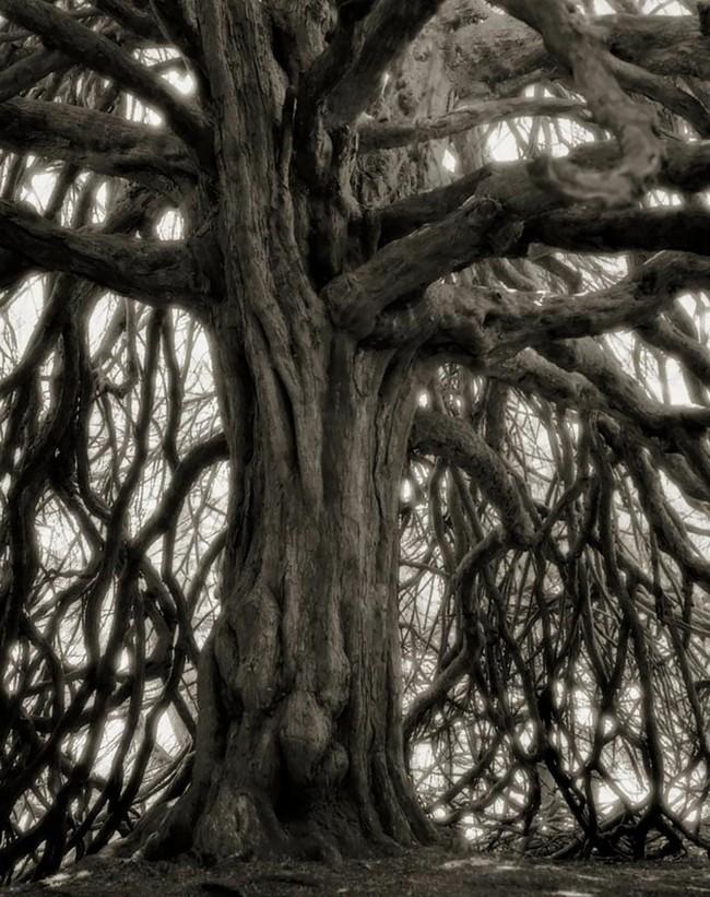 Árvores Ancestrais (18)