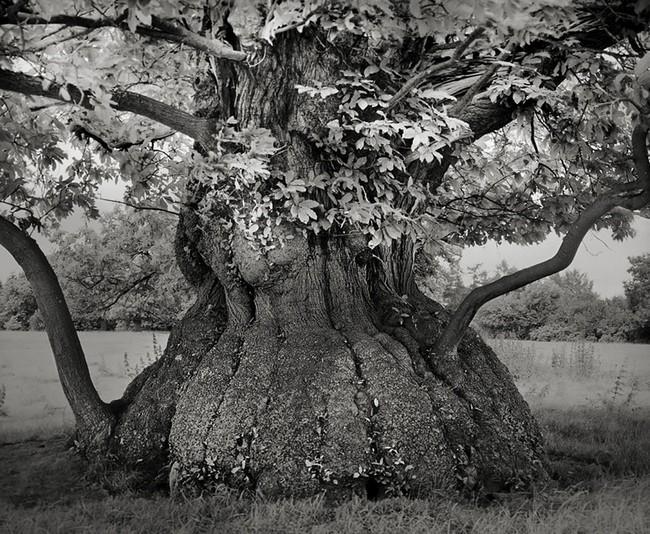 Árvores Ancestrais (4)