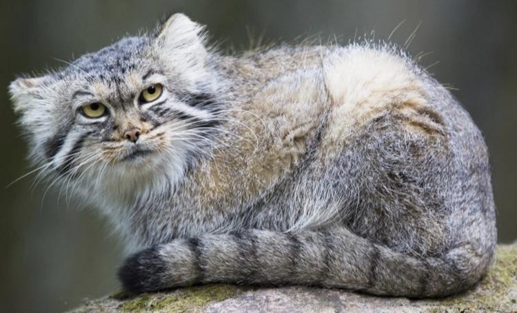 gato-de-pallas1