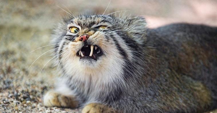 gato-de-pallas2