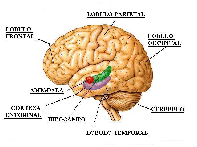 hipocampo meditação