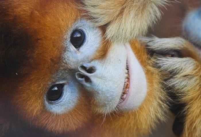 macaco-dourado