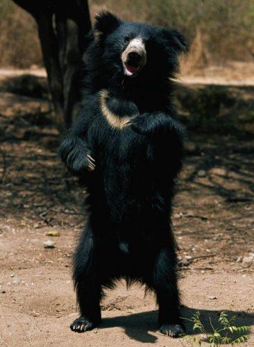 urso.preguiça