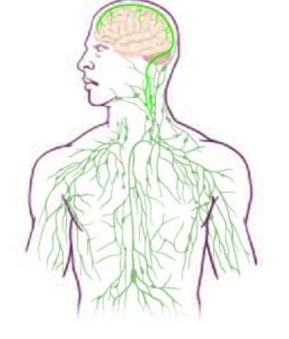 Nova ligação entre o sistema linfático e o cérebro, desenhado pela Universidade da Virginia.