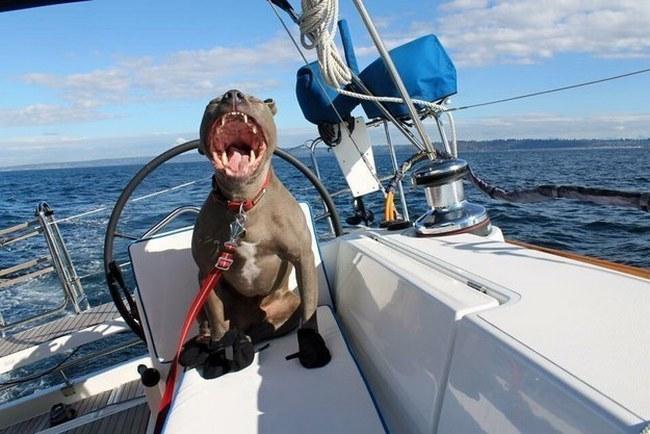 Esse pit bull está navegando pelos sete mares e nada pode diminuir seu nível de felicidade. Inspirador.
