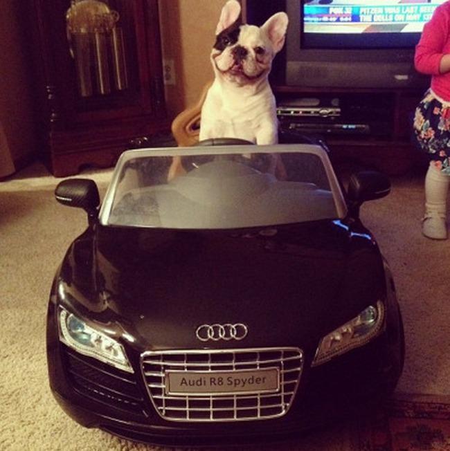 Qualquer um fica feliz dirigindo um Audi. Inclusive cães.