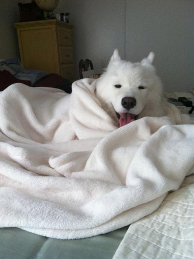 Este cachorro é o seu retrato num domingo frio e chuvoso: com preguiça, mas feliz e quentinho no cobertor.
