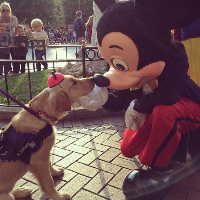 Você não é a única pessoa que tem o sonho de conhecer a Disneylândia. Esse golden também adora o Mickey e seus amigos.