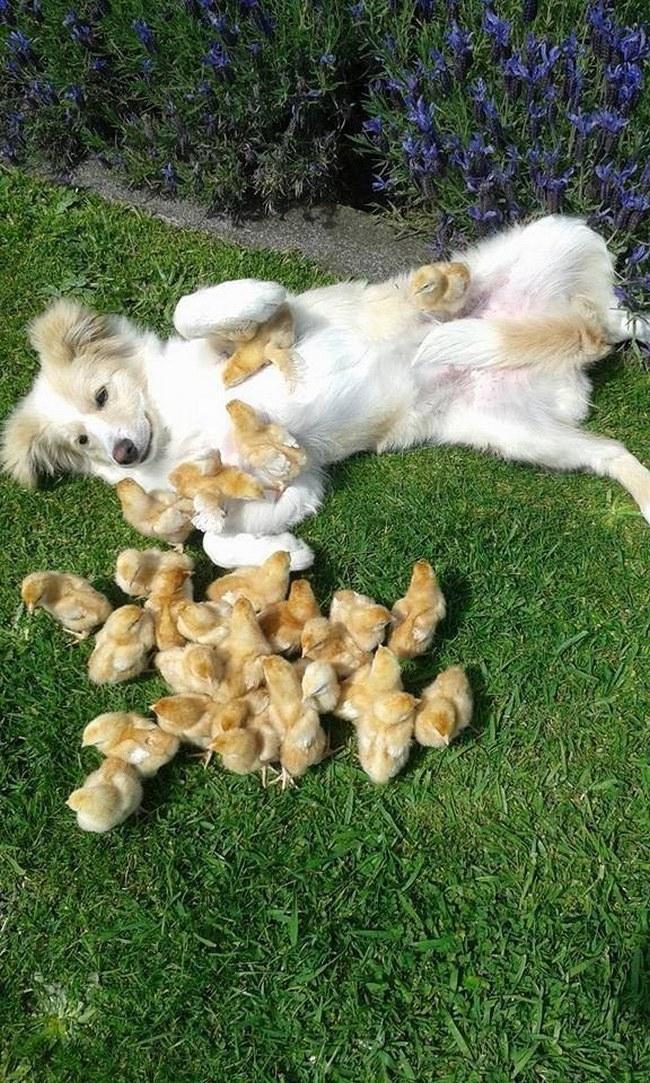 Deve existir algum estudo científico que prova que pintinhos e filhote de border collie são a combinação perfeita para a felicidade.