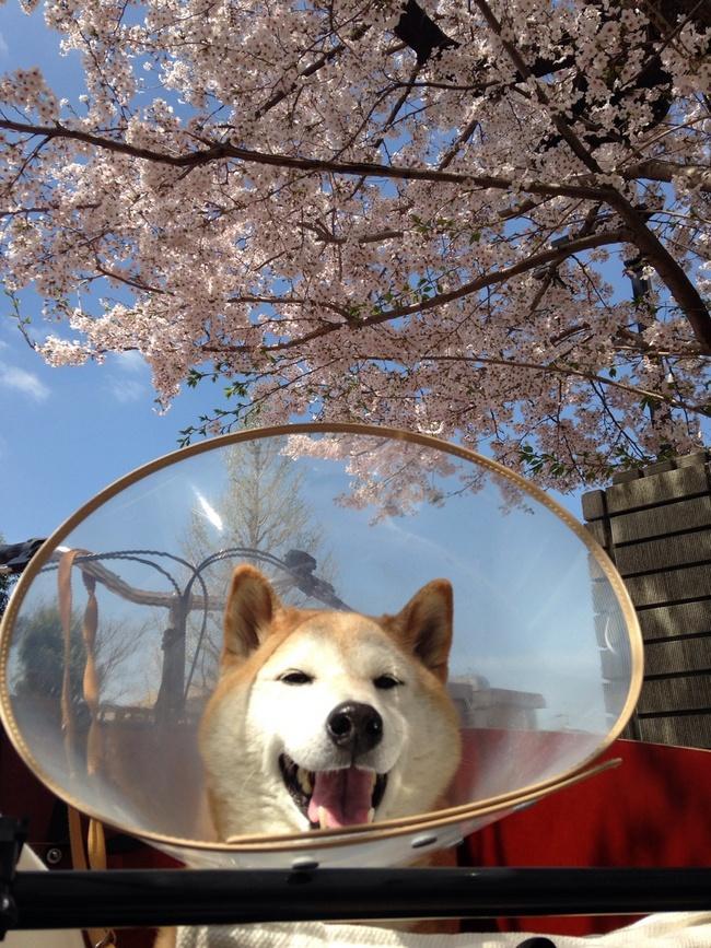 Dane-se o cone de proteção, o importante é o passeio ao ar livre. Shibas adoram uma brisa no focinho.