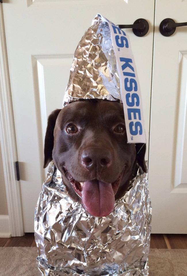 Cor de chocolate não é uma mera coincidência para esse labrador, afinal... ele É um chocolate.