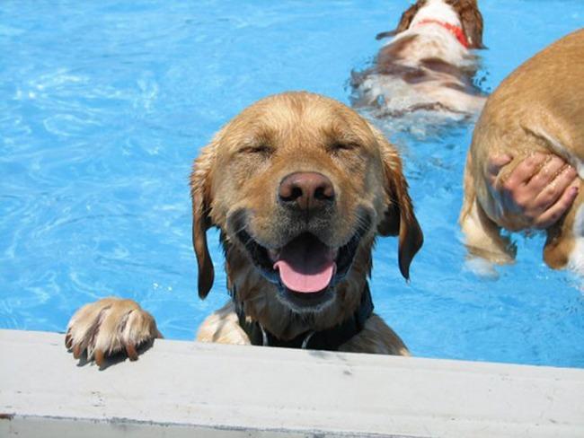 Ah, todo mundo ama piscinas no verão. Esse labrador não é diferente.