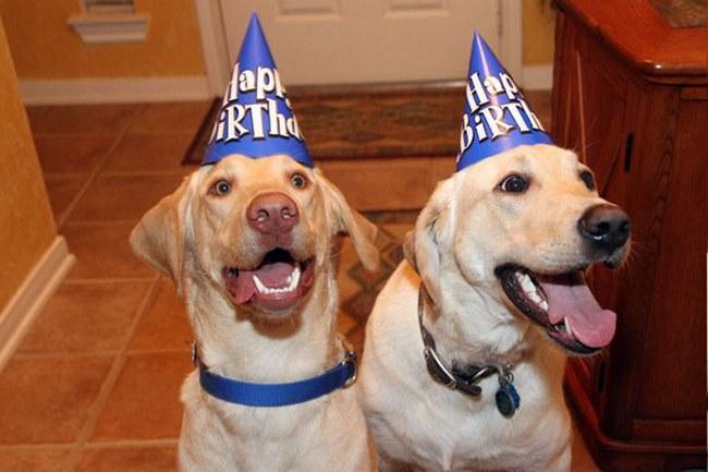 Comemorar aniversário significa receber abraços dos melhores amigos. Ah, tem o bolo também... aposto que esses dois labradores acabaram de ver o deles chegando.