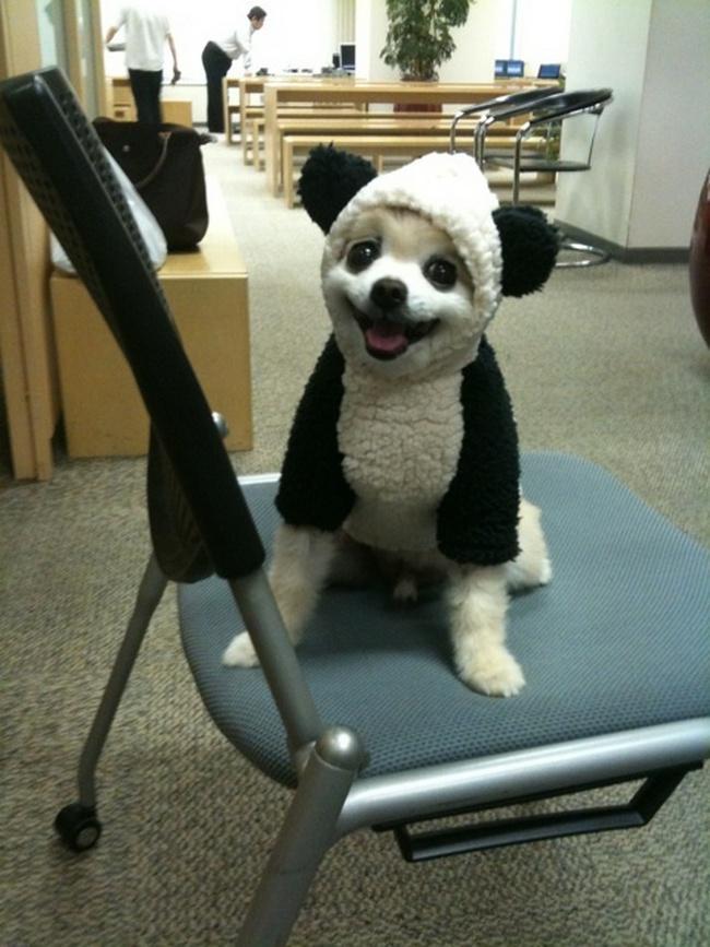 Porque é dia de fantasia no escritório e já fazia um bom tempo que a sua fantasia favorita de panda estava no guarda-roupa.