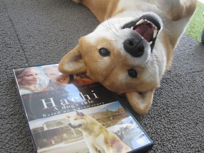 Essa shiba inu adora assistir filmes. E, pelo visto, fica ainda mais feliz quando tem um (cachorro) galã como protagonista.