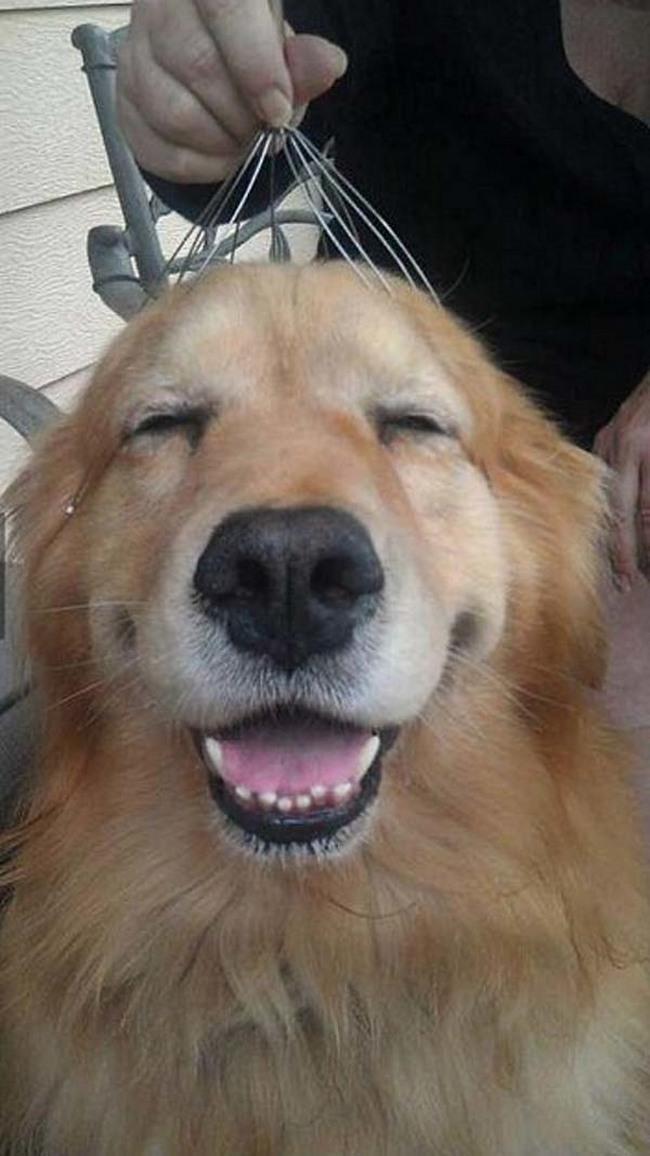 Você não é o único que gosta de relaxar com um massageador de cabeça. Na verdade, os cachorros também gostam. Olha a alegria desse golden!