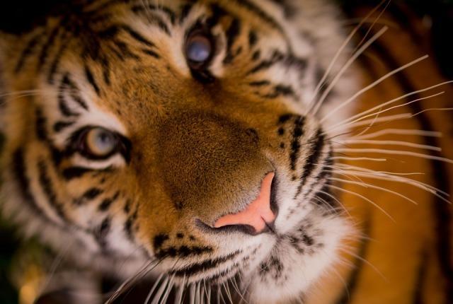 tiger-498543_960_720