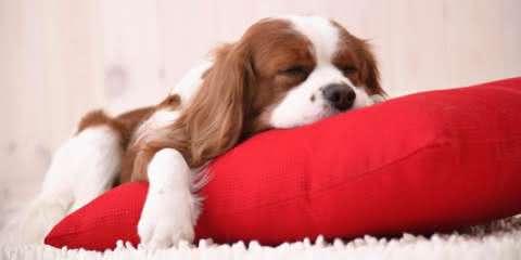 Psicóloga de Harvard diz que cães sonham com seus donos