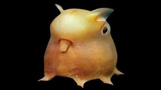 Criaturas Marinhas Polvo dumbo
