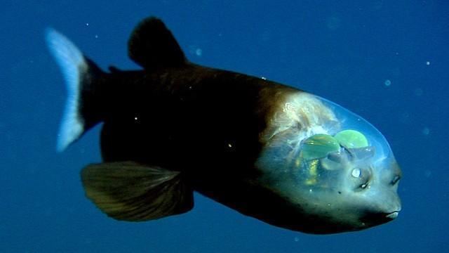 Criaturas Marinhas Peixe-olhos-de-barril