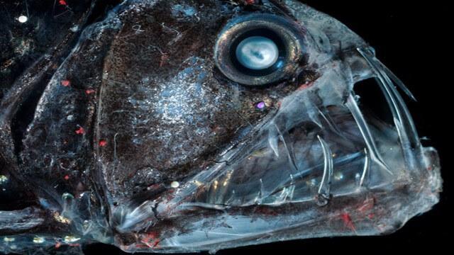 Criaturas Marinhas Peixe-víbora