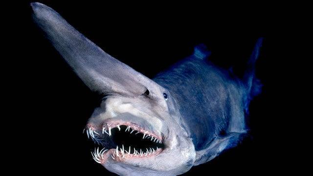 Criaturas Marinhas Tubarão-duende