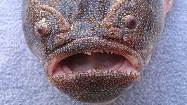 Criaturas Marinhas Peixe-caixão
