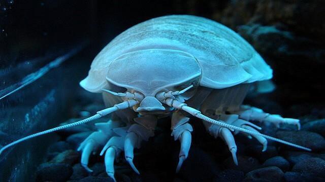 Criaturas Marinhas Isópode gigante