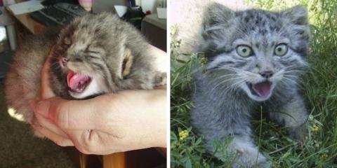 Fazendeiro resgata filhotes de espécie rara de gatos selvagens sem perceber