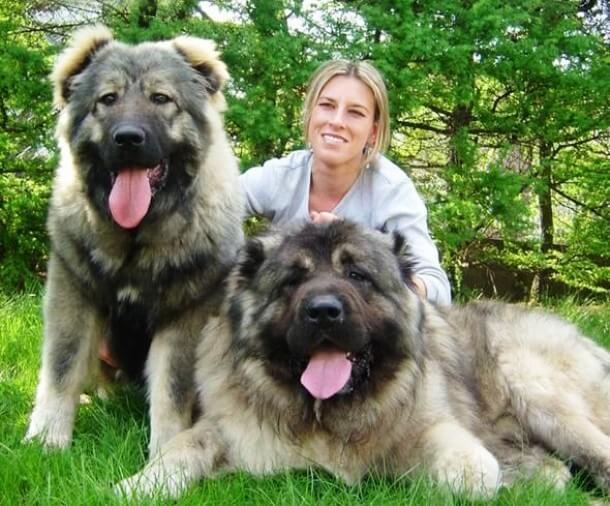maiores raças de cães do mundo Pastor-do-cáucaso