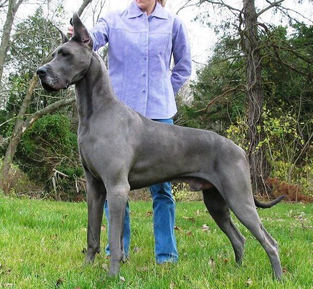 maiores raças de cães do mundo Dogue Alemão