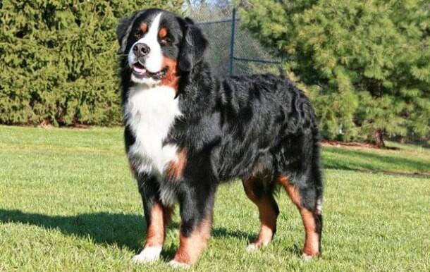 maiores raças de cães do mundo Bernese