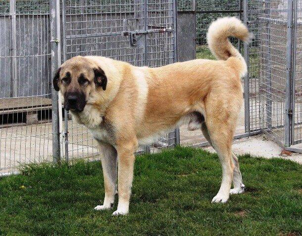 maiores raças de cães do mundo Pastor-da-Anatólia