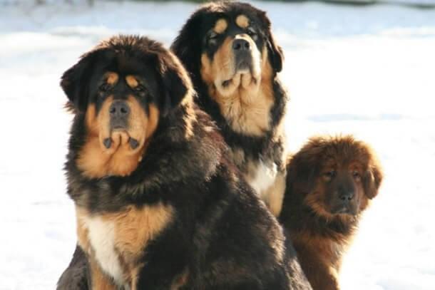 maiores raças de cães do mundo Mastim Tibetano