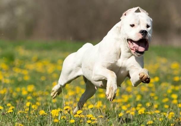 maiores raças de cães do mundo Dogo Argentino