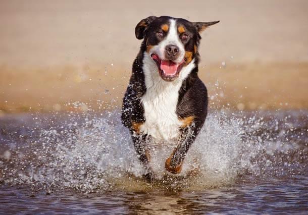 maiores raças de cães do mundo Grande Boiadeiro Suíço